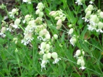 Bladder Campion awaiting bees