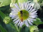 Possibly a fly on daisy fleabane.