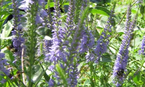 Veronica spicata with two bumblebees