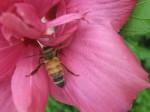 Honeybee in Rose of Sharon