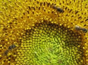 Three bees on a sunflower
