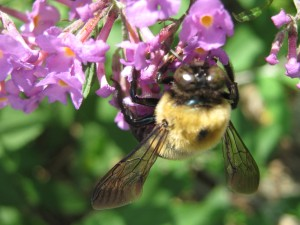 Ginormous bumblebee on buddleia