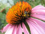 Sweat bee on coneflower