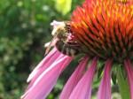 Honeybee on coneflower