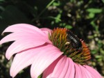 Melissodes on coneflower
