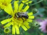 Bumblebee on hawkweed.
