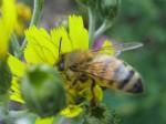 Honeybee on hawkweed