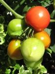 Early Girl tomatoes