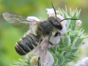 Leafcutter bee on catmint