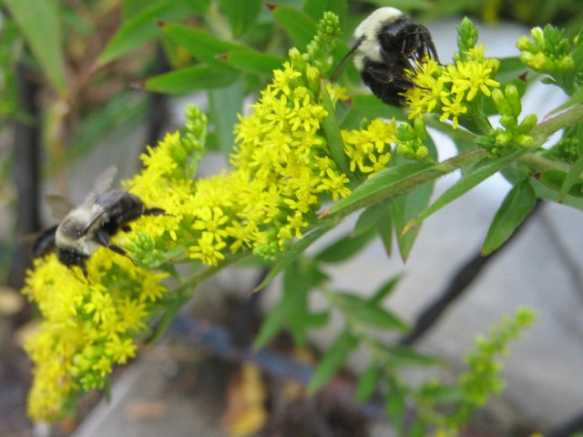 Three leisurely bumblebees