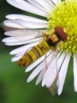 Allograpta syrphid fly