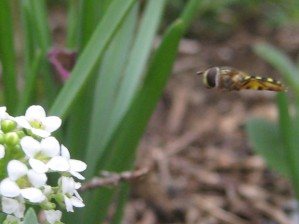 Syrphid on approach path