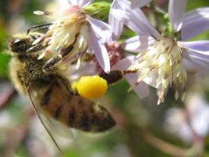 Honeybee gathering pollen