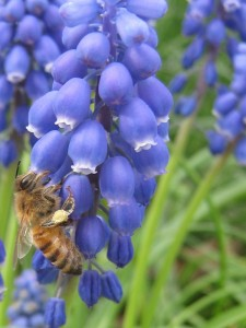 Spring bulbs such as this grape hyacinth feed hungry bees