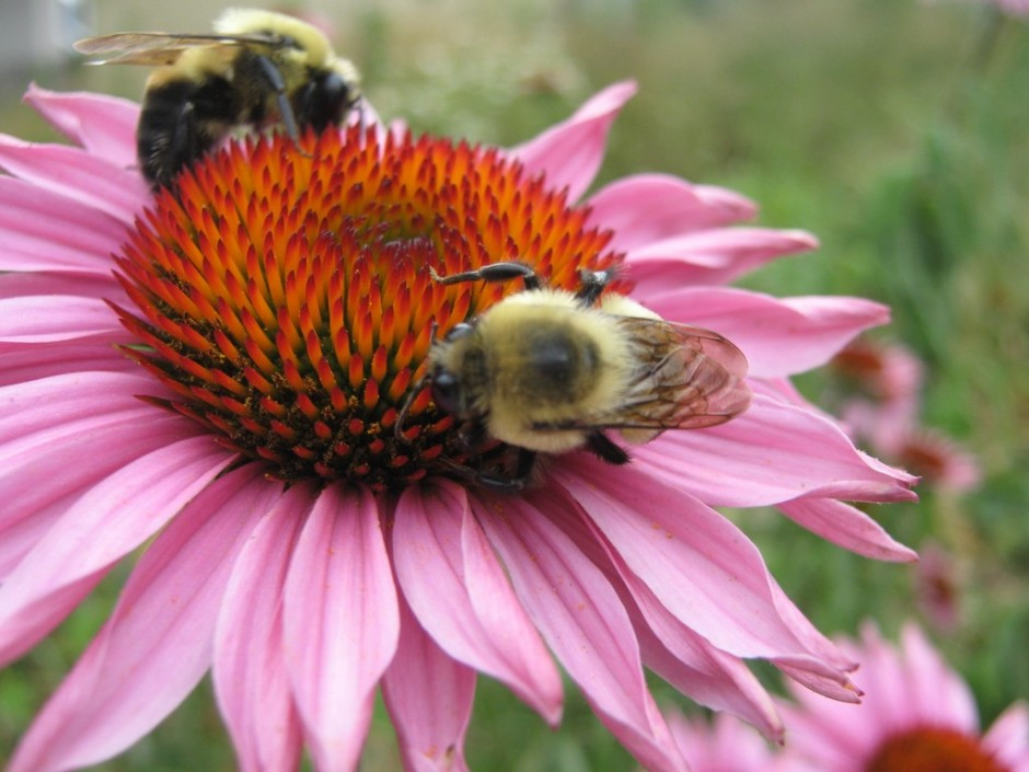 Bumblebees dance on a coneflower