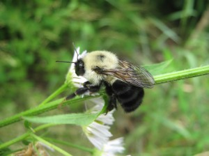 Iconic Common Eastern Bumblebee