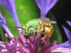 This Agapostemon bee has something to say.