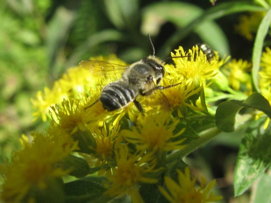 Possibly a Leaf Cutter Bee on Goldenrod flowers