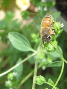 Honeybees love herbs, such as this marjoram