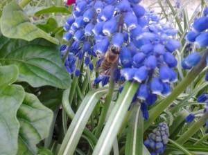 20140502_honeybee_muscari