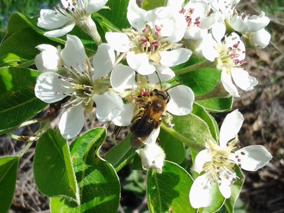 Miner Bee in a Pear Tree