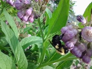 A Bumblebee drinking Borage nectar