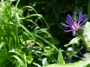 Agapostemon bee coming in for a landing on Mountain Bluet