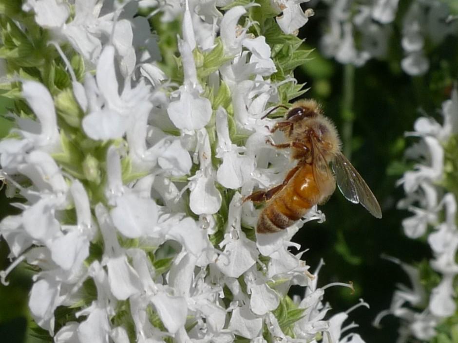 Honeybee enjoying white Salvia